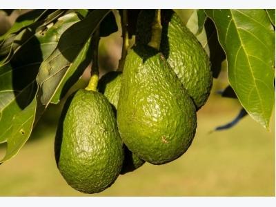 Avocado Cultivation Information Guide