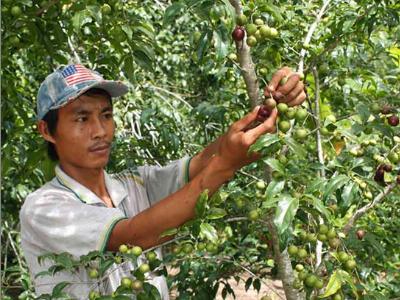 Hồng quân cây chịu hạn cho kinh tế cao ở vùng núi