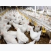 Impact of lowering the protein content in feed for broilers