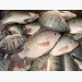 Tilapia productivity nearly quadrupling in Dutch-backed RAS tilapia product trial in Vietna