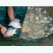 Tilapia lake virus resistance breakthrough announced
