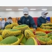 An Giang to export mangoes to US in June