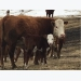 Veterinary study aims to reduce calf pain during difficult births