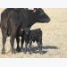 Modified grazing may benefit cow/calf producers