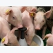 Controlling dietary buffering capacity in piglet feeds