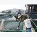 Khánh Hòa embraces advanced technologies for marine aquaculture