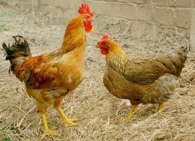 Một số giống gà nuôi phổ biến ở Việt Nam (phần 2)